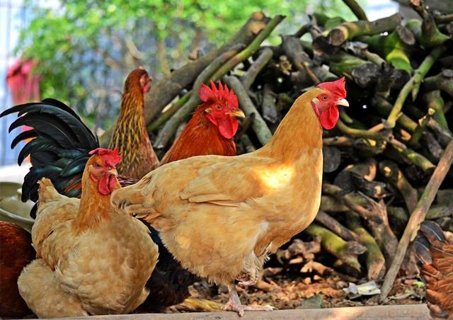 【爱心扶贫土鸡】海拔800米高山竹林原生态3.5斤散养鸡 | 省商务厅城步帮扶
