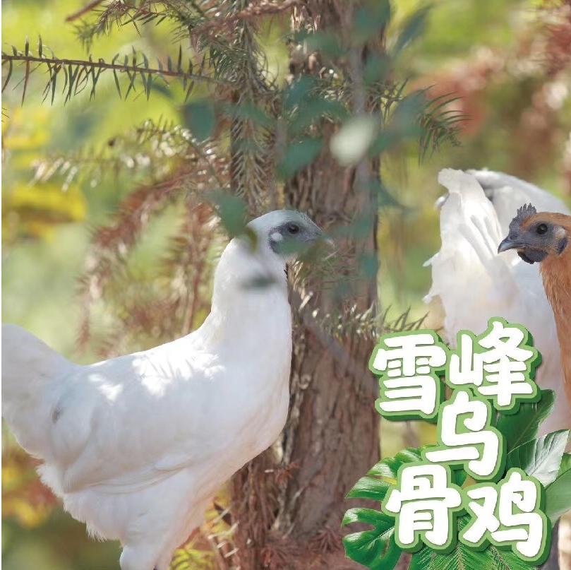 咕咕农场-雪峰乌骨鸡