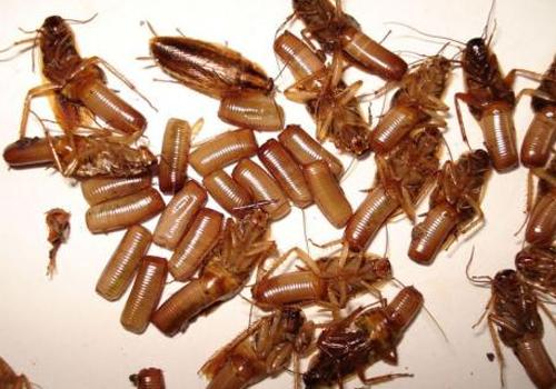 专业灭蟑螂服务
