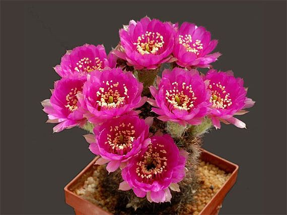 室内花卉出租-仙人掌