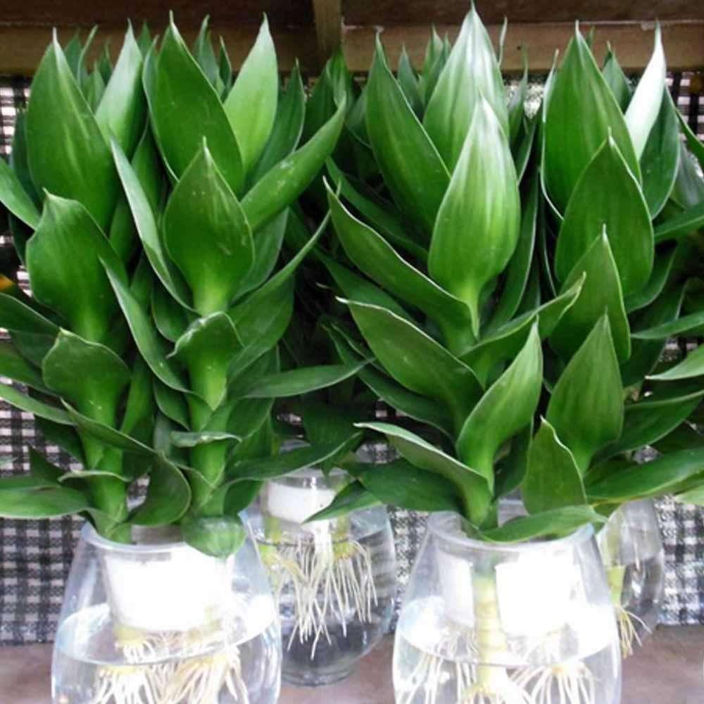 小型盆栽擺租-觀音竹