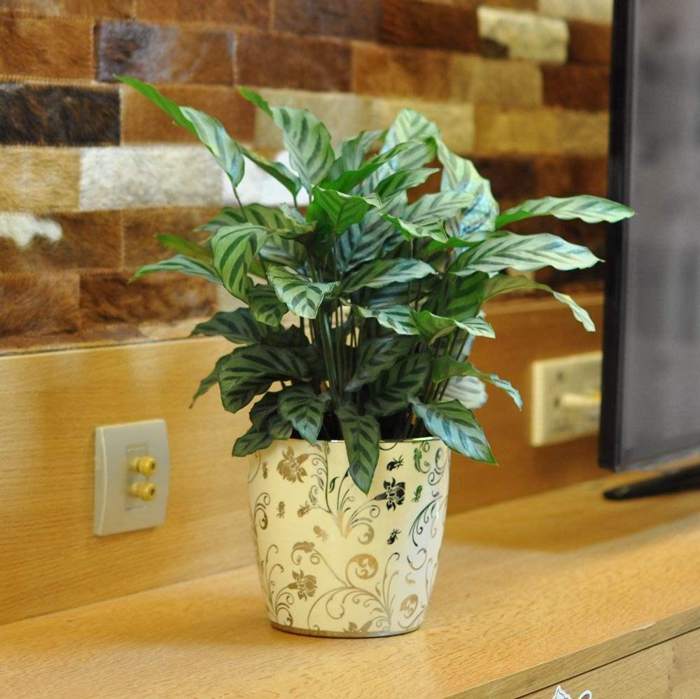 盆栽綠植租售-孔雀竹芋