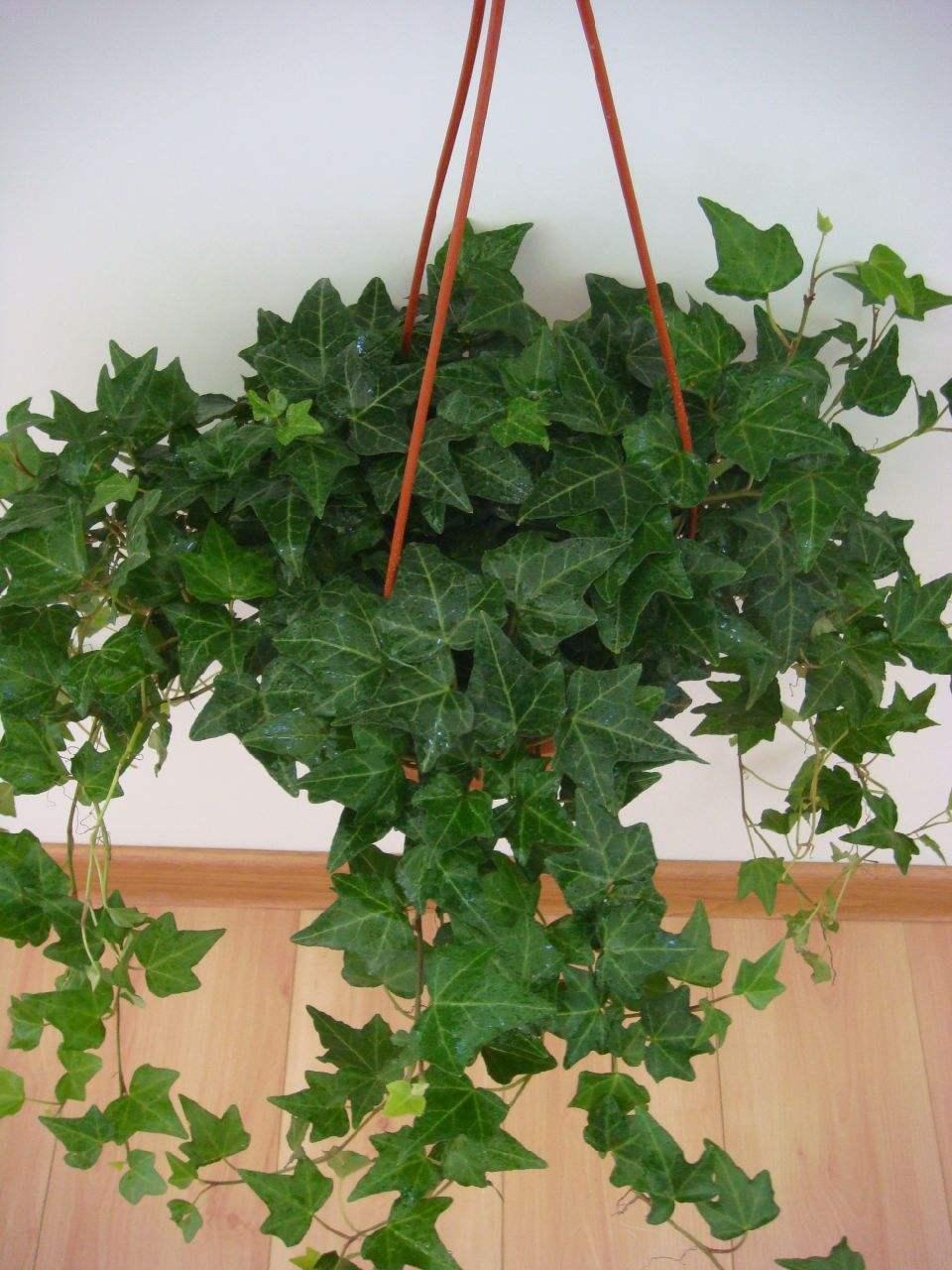 辦公室小型盆栽租賃-常春藤