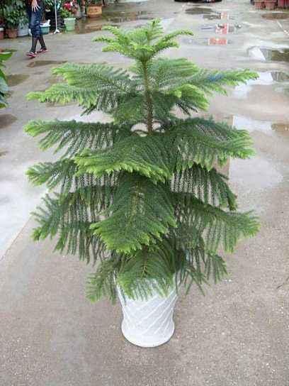 室內植物擺租-南洋杉