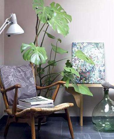 植物租擺-龟背竹