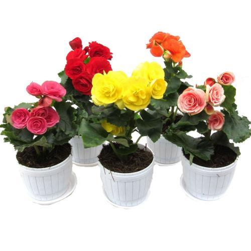 室内植物租摆海棠花