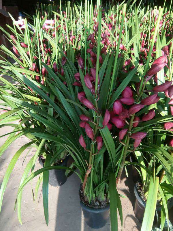 办公室植物租擺-大花卉兰