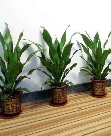 植物養護-金心也門鐵