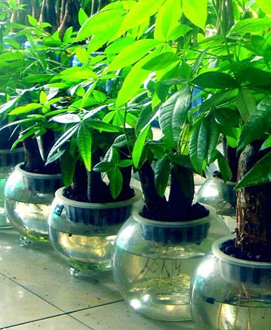 办公小型绿植-发财树
