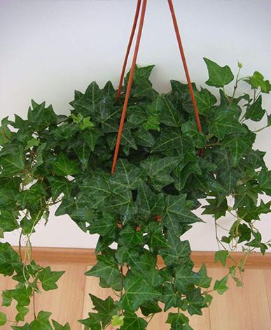 办公室小型盆栽租赁-常春藤