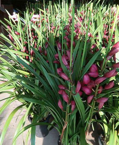 办公室植物租摆-大花卉兰