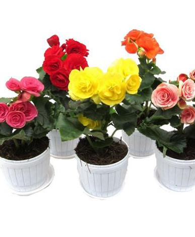 室内植物租赁-海棠花