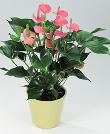 室内植物租摆-粉掌