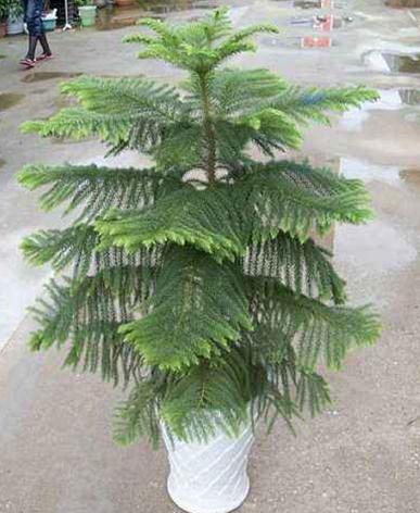 室内植物摆租-南洋杉