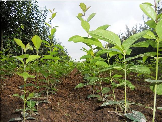 潍坊青州花卉苗木基地供应优质流苏小苗批发价格优惠