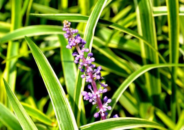 金边麦冬草种植