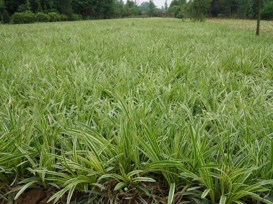 襄阳麦冬草