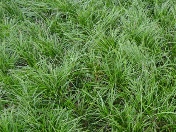 细叶麦冬草