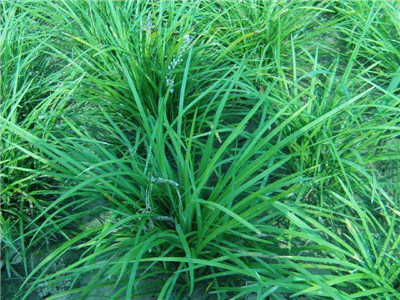 中叶麦冬草种植