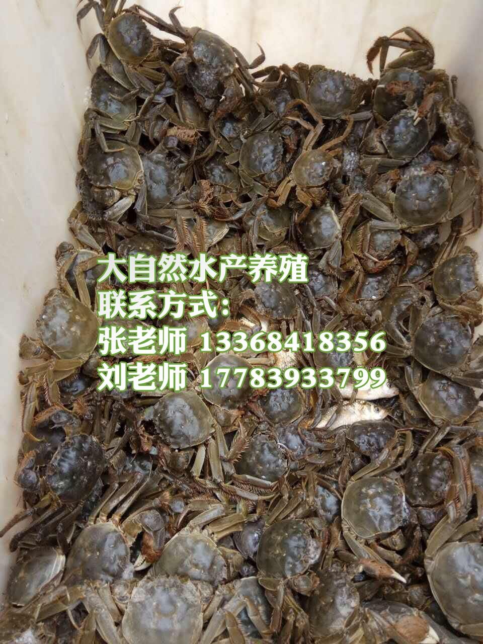 大闸蟹养殖投资与收获