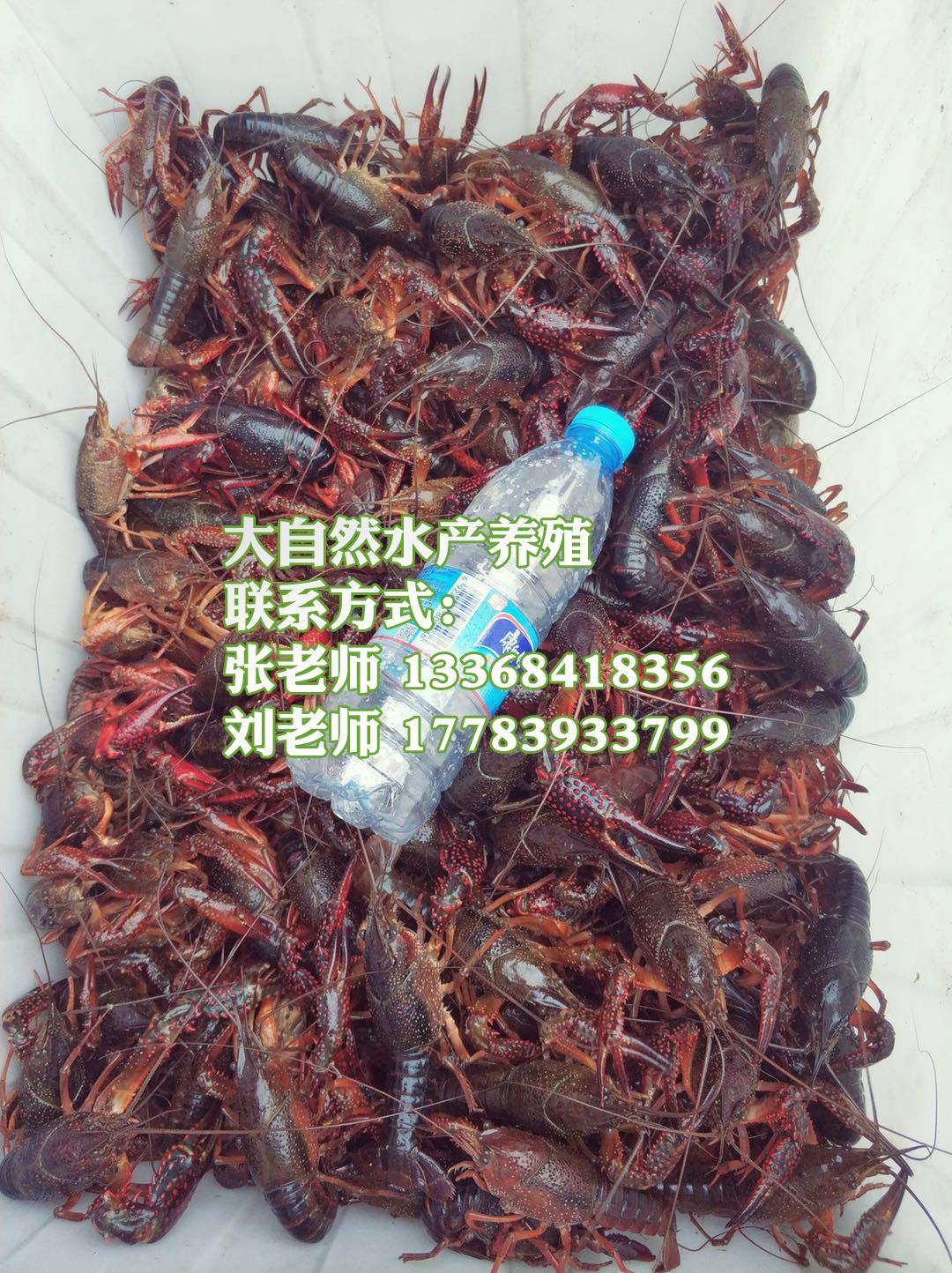 小龙虾养殖投资与收获