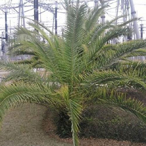 海葵树盆景