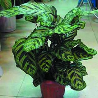 孔雀竹芋.
