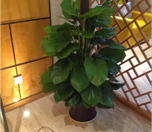绿萝植物租赁
