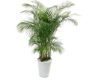 散尾葵租赁植物租赁