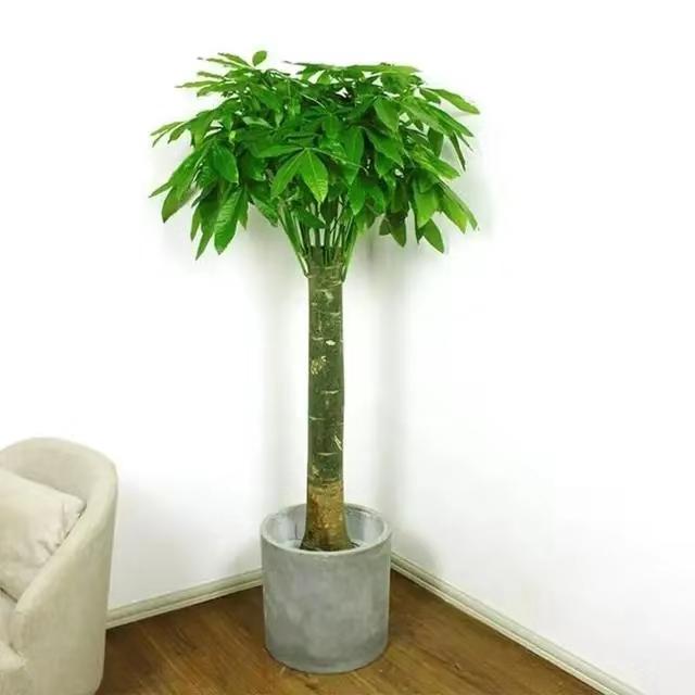发财树出租
