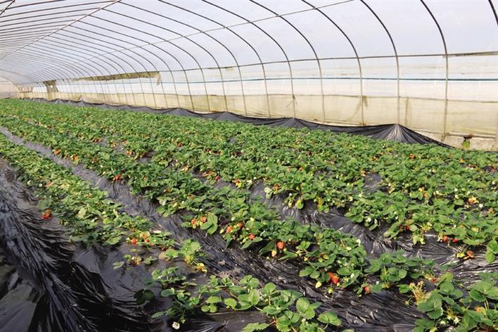 草莓温室大棚