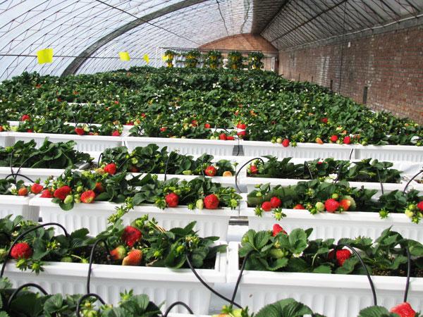 银川草莓温室大棚