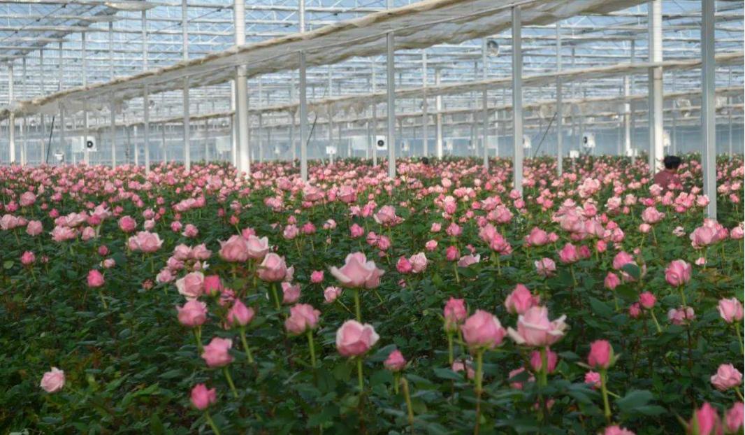 玫瑰花温室大棚