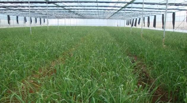 運用塑料溫室大棚種植大蒜的方法