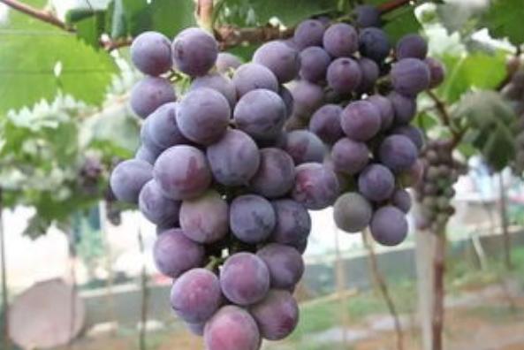 葡萄温室大棚