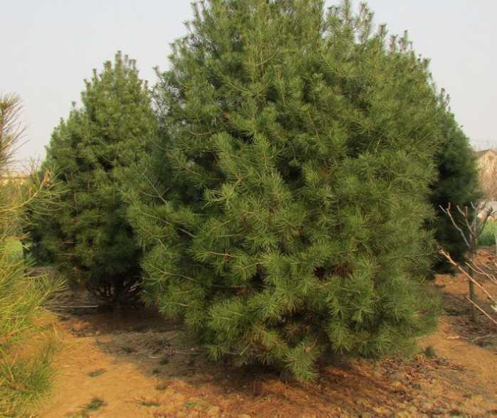 白皮松树适合种植在酸性土壤中