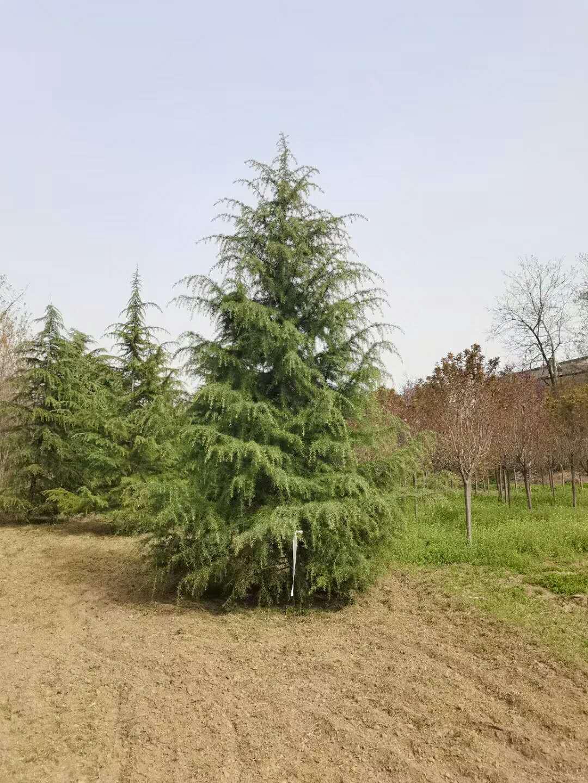 藍田白皮松實惠在什么環境下進行種植?
