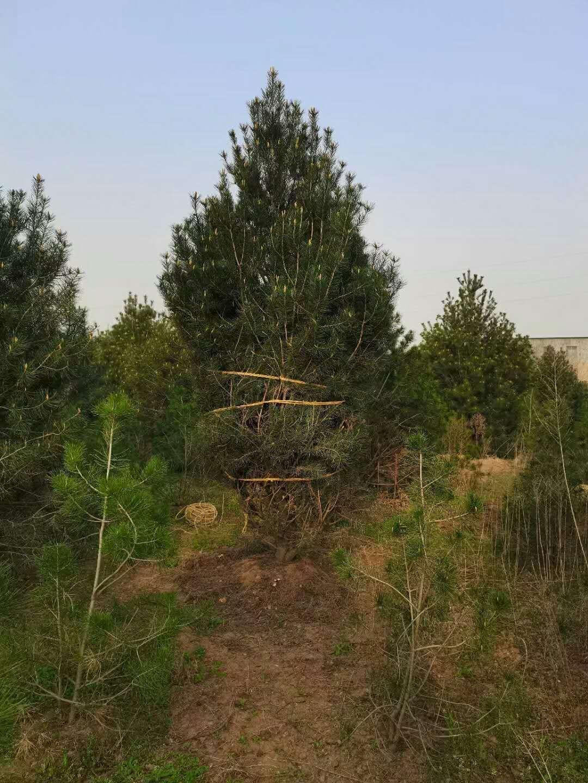 蓝田白皮松成为保护环境的绿色标兵