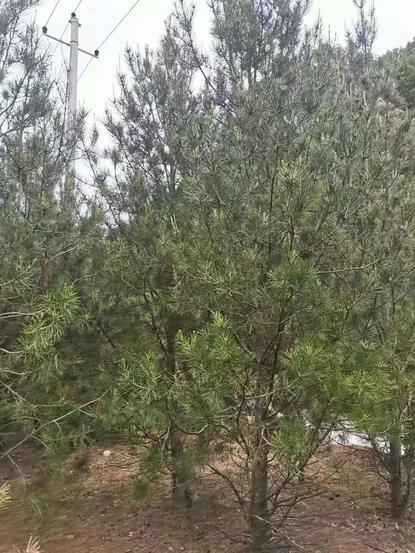 蓝田白皮松是环境绿化的好帮手