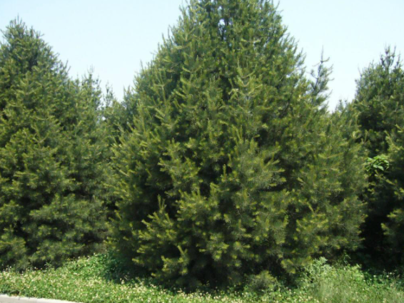 白皮松苗木移栽起苗的正確操作