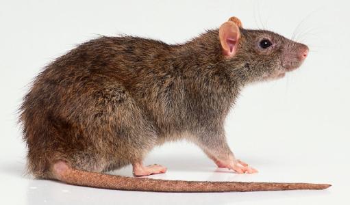 西安专业灭老鼠公司