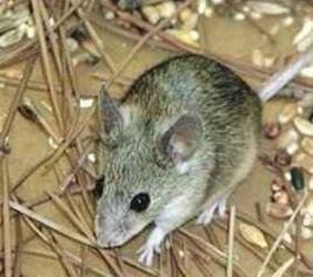 餐厅灭老鼠
