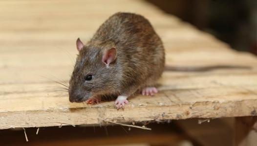 灭老鼠公司告诉你家庭灭老鼠要做到这3点