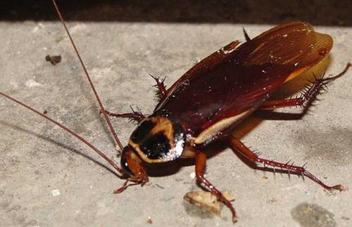 彻底消灭蟑螂防治的注意事项