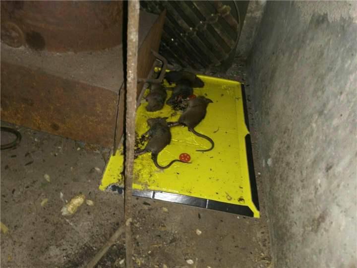 西安除老鼠