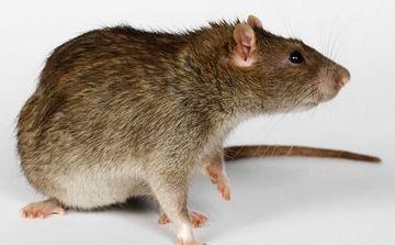 除老鼠公司