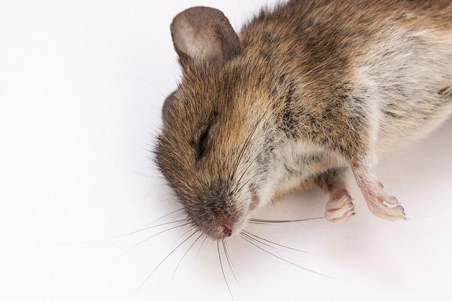 遇到鼠患,找专业的灭老鼠服务公司