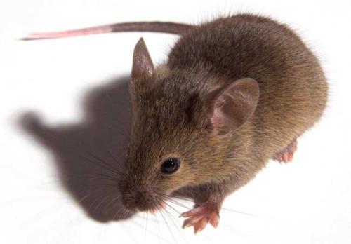 西安灭老鼠哪些方法有效?