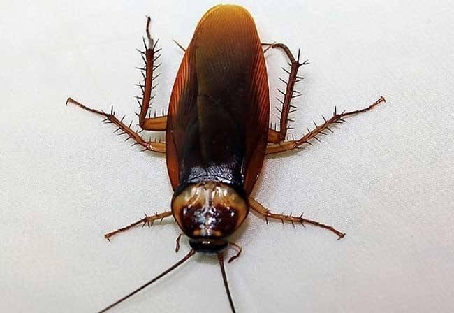如何消灭厨房里的蟑螂?