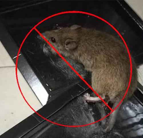 家庭小家鼠防治方法